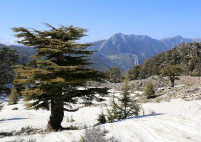 Morocco cedar forest